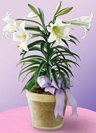 Cupid-88-Easter- lily-plant  25$ / 35$ / 45$ / 55$