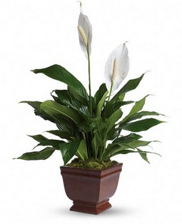 Cupid-105 Lovely One Spathiphyllum Plant T272-1A 45$  /55$ / 65$